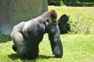 230 kilogram of testosterone. Mountain Gorillas often reach an age above the 50-year-mark. Photo: Pixabay
